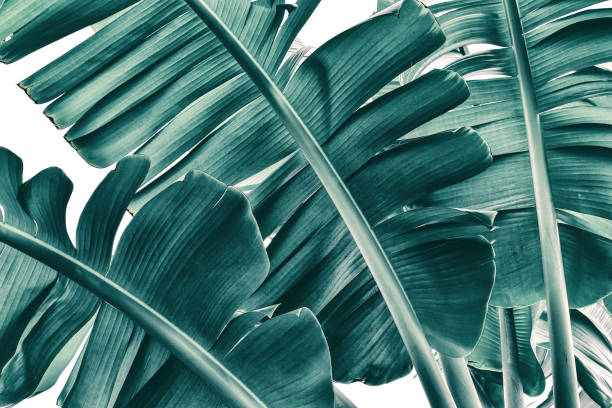 tropical banana palm leaf texture on white background, blue toned stock photo