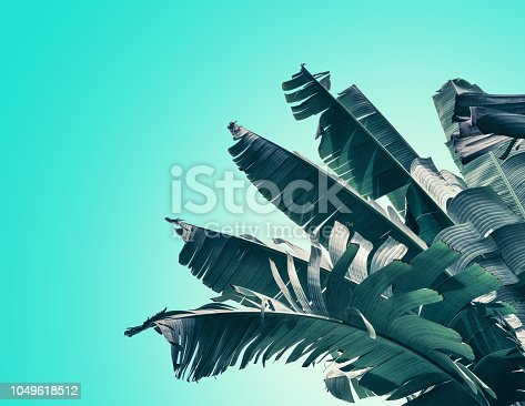 909846922 istock photo tropical banana palm leaves 1049618512