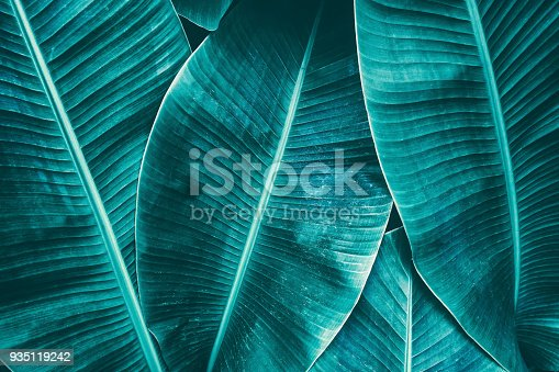 909846922 istock photo tropical banana palm leaves texture background 935119242