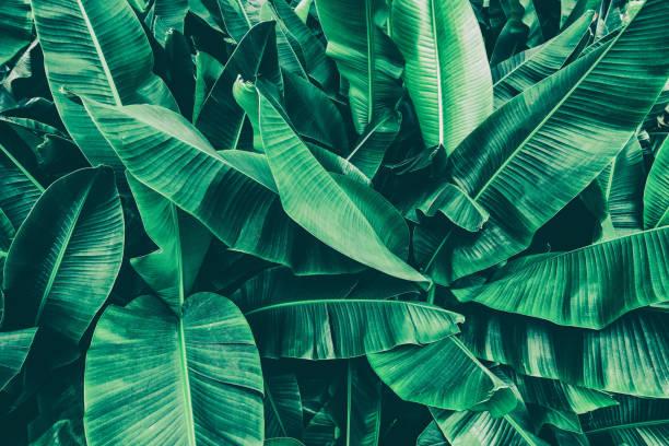 tropical banana palm tree stock photo