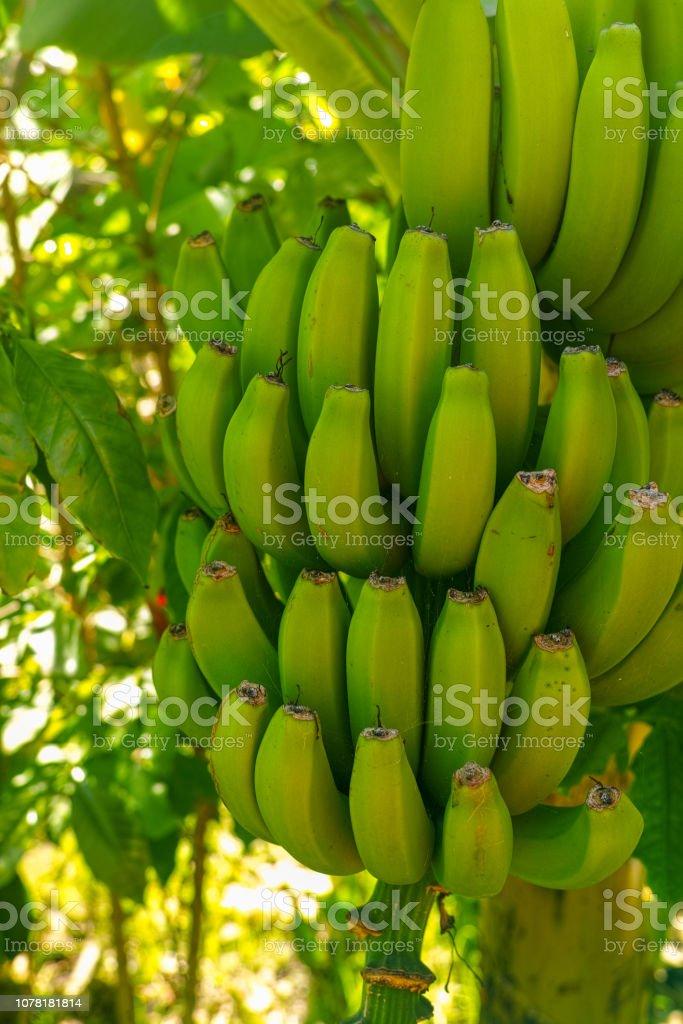 Tropical banana palm tree with green banana fruits growing on banana...