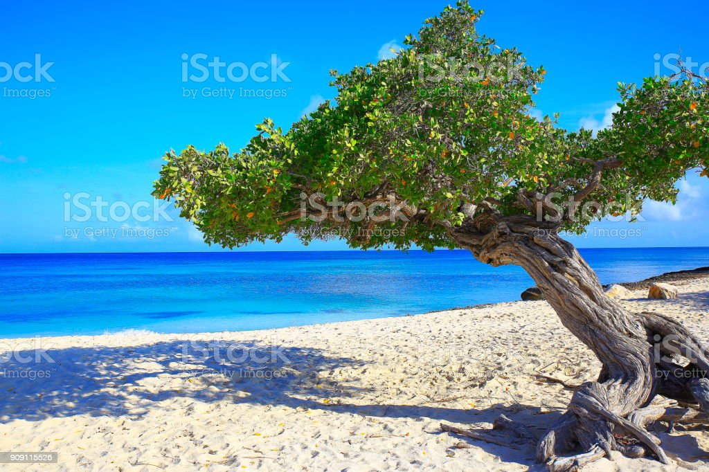 Tropical Beach in Aruba with lonely Divi Divi Tropical tree, summer paradise, Aruba – Dutch Antilles, Caribbean sea stock photo