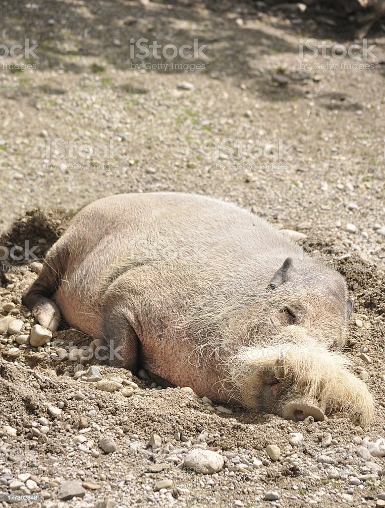 Tropical Bearded Pig royalty-free stock photo