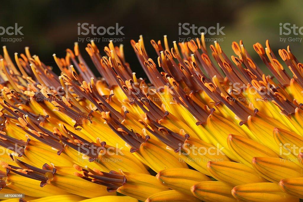 tropical beautiful flowers Kniphofia closeup stock photo