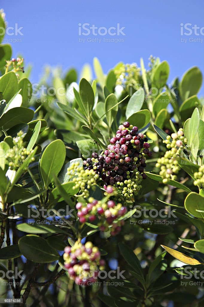 Tropical berry fruits in tree royalty-free stock photo