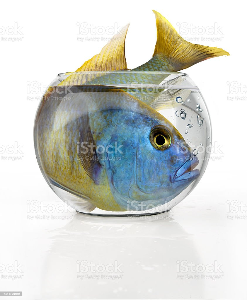 Tropical big fish in a small bowl stock photo
