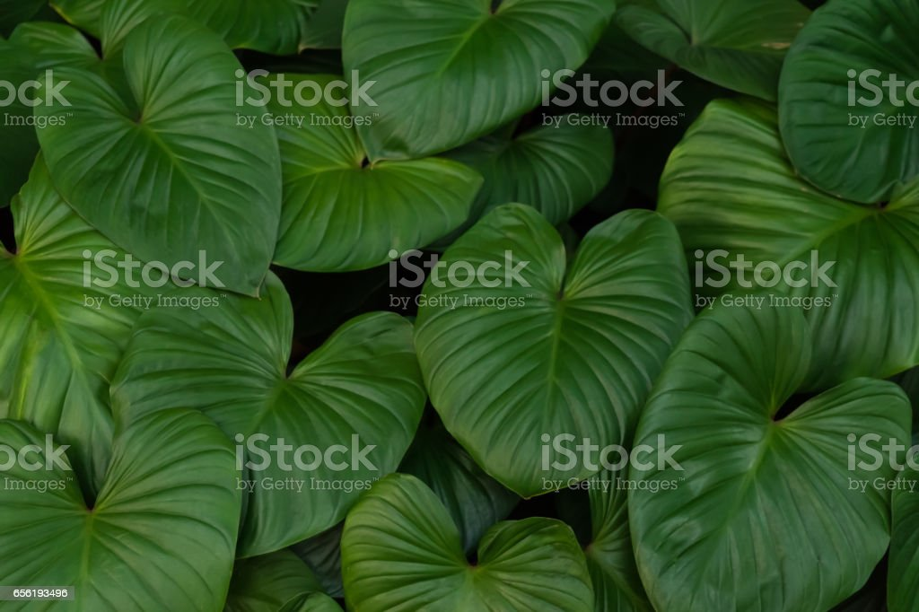 Tropical big green leaves pattern background. Bush of Alocasia in dark tone. stock photo