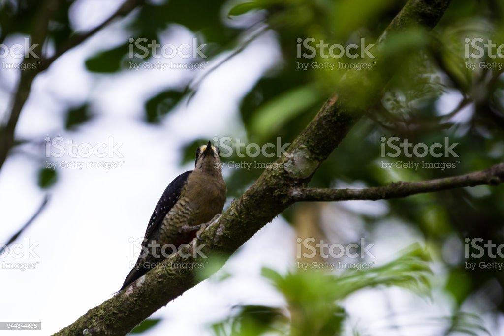tropical bird, Costa Rica stock photo