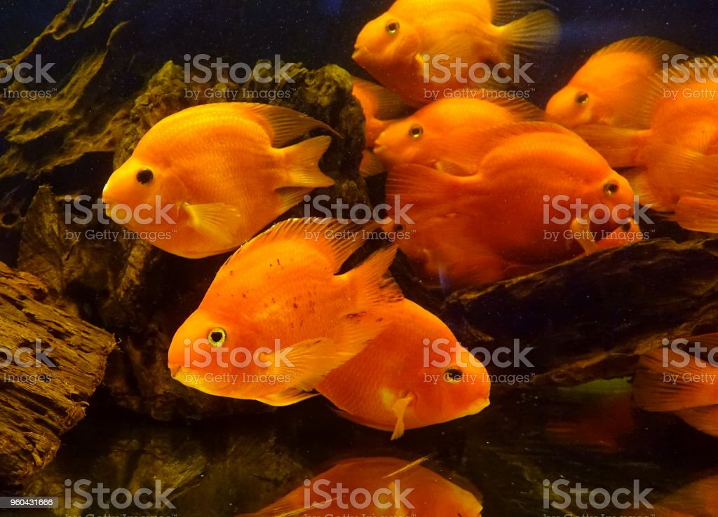 Tropical Blood Parrot Fish stock photo