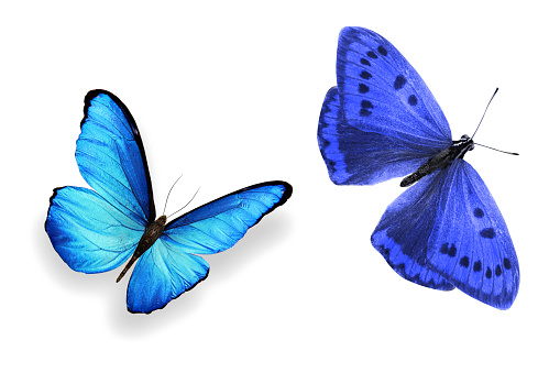 istock tropical blue butterfly. isolated on white background 1145752538