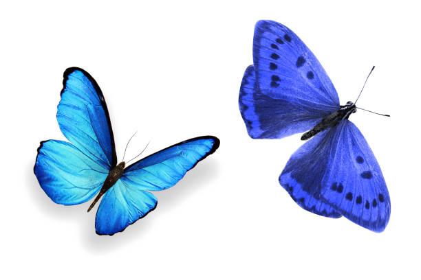 Tropical blue butterfly isolated on white background picture id1145752538?b=1&k=6&m=1145752538&s=612x612&w=0&h=vuf4hfa7sbuawcidto7x6kumses5q wkmgzj6w5z6qe=