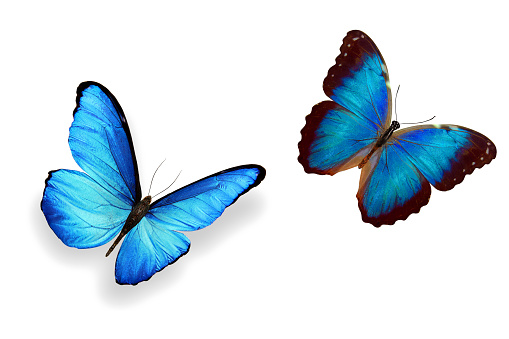 istock tropical blue butterfly. isolated on white background 1146354933