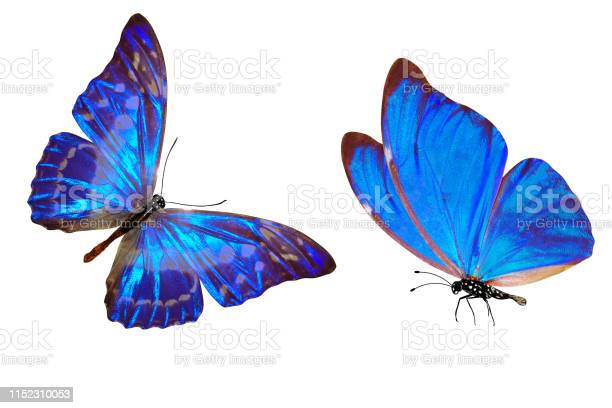 Tropical blue butterfly isolated on white background picture id1152310053?b=1&k=6&m=1152310053&s=612x612&h=lpyhccpqbl3a 133jdezinhk64zzrkwznph1dzivdwe=