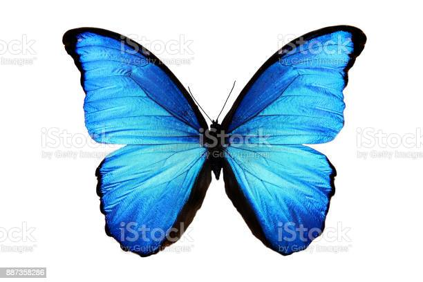 Tropical blue butterfly isolated on white picture id887358286?b=1&k=6&m=887358286&s=612x612&h=n k4lnzwnqq1ecqkueuzzkzdtgfbgiegdcy1ipz27us=