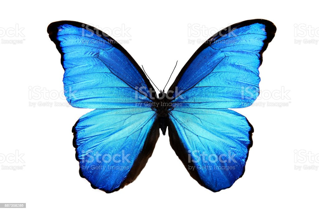 tropical blue butterfly isolated on white stock photo