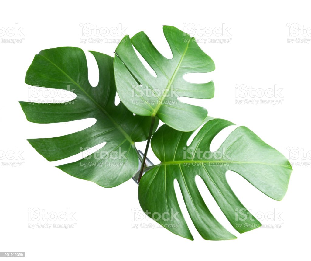 tropical botanical  leaves backgrounds on white nature concepts royalty-free stock photo