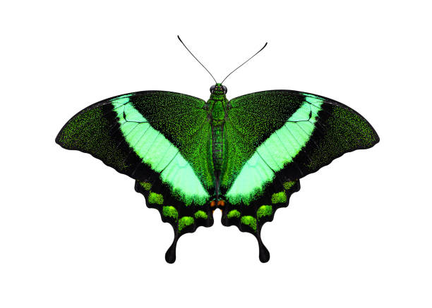 Tropical butterfly emerald swallowtail isolated on white picture id1132927124?b=1&k=6&m=1132927124&s=612x612&w=0&h=qyeeh4fzo06gaonq 8inkxxanu5biacwnjykq0onn2g=