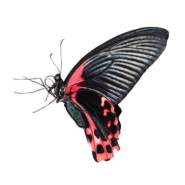 Tropischen Schmetterling – Foto