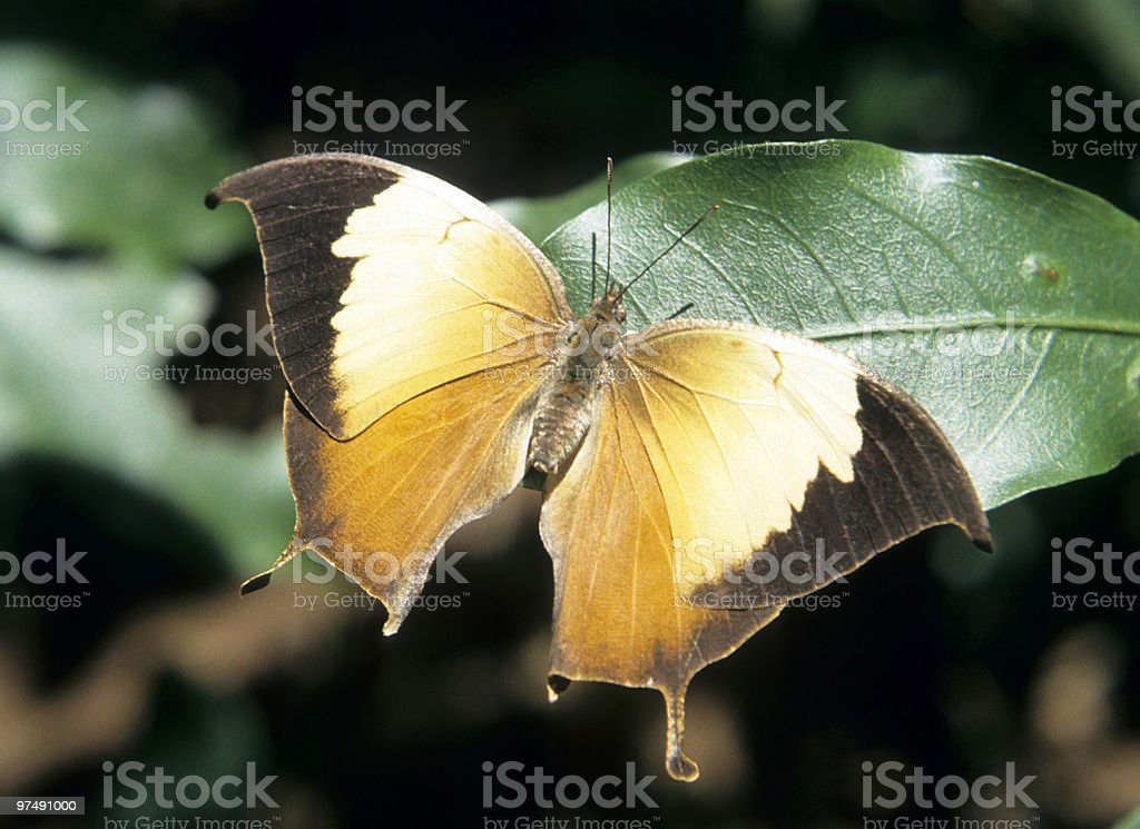 Tropical butterfly royalty-free stock photo