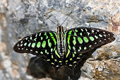 Tropical butterfly Tailed Green Jay (Graphium agamemnon)