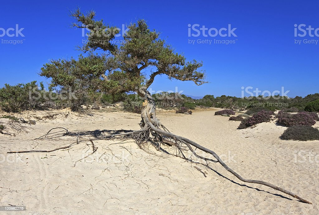 Tropical Cedar tree royalty-free stock photo