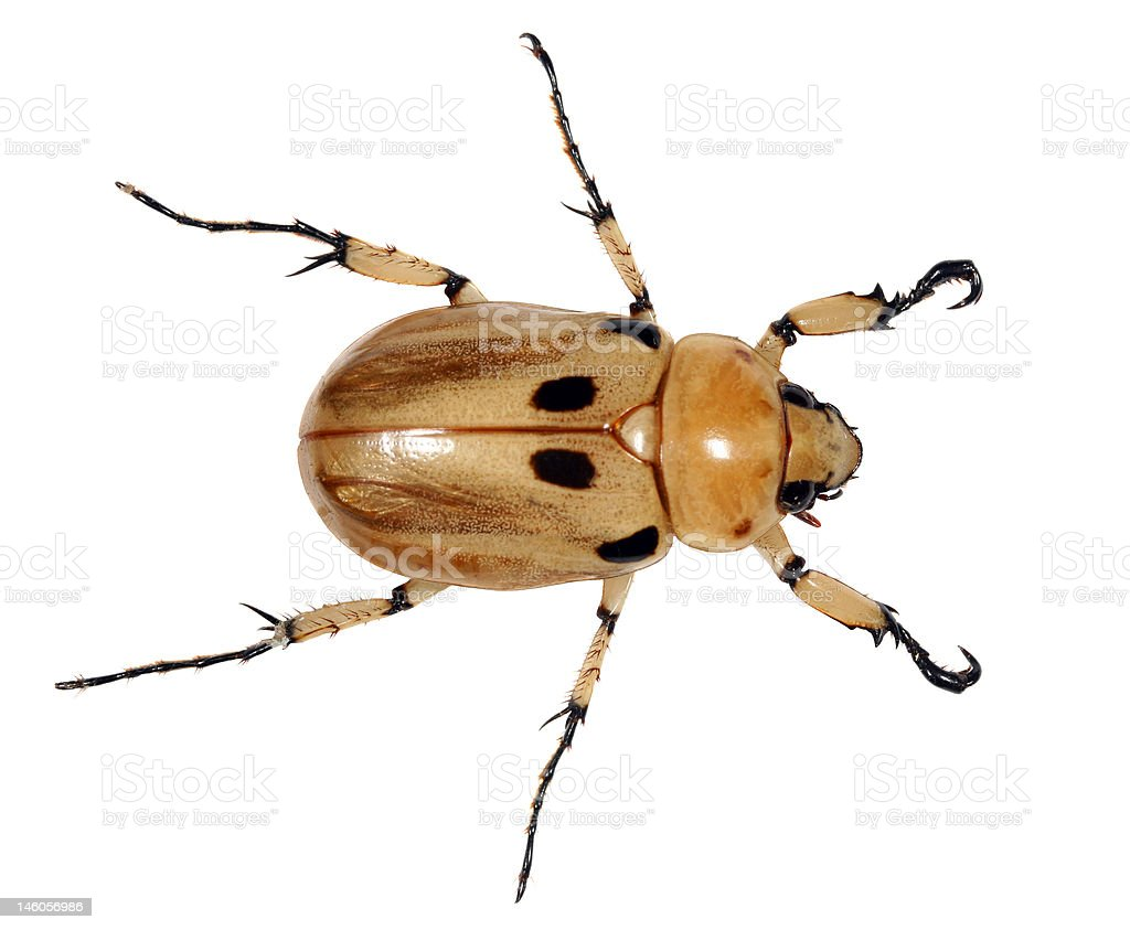 Tropical chafer royalty-free stock photo