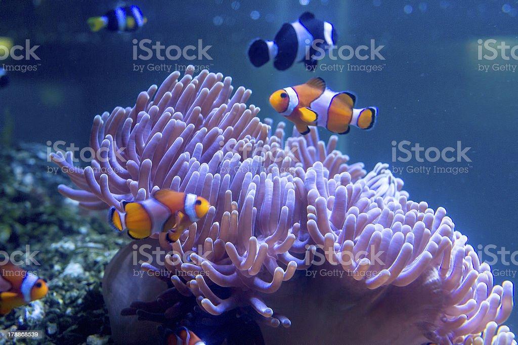 Tropical clown fish at aqaurium royalty-free stock photo