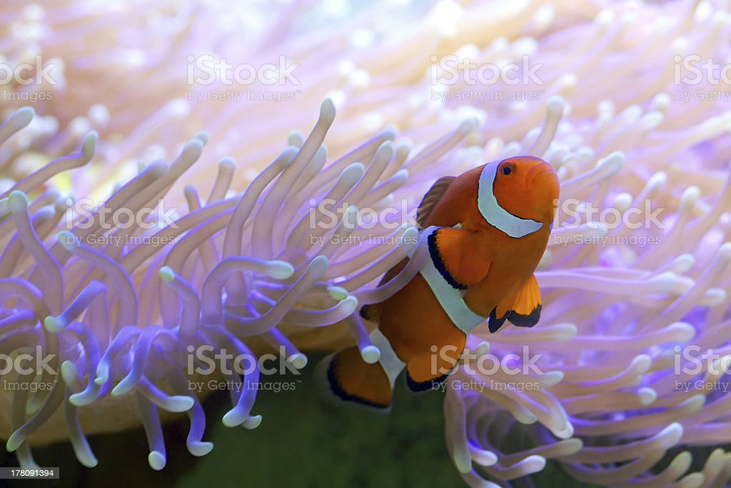 Tropical clown fish hiding in anemone stock photo