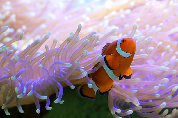 tropical clown fish hiding in anemone - great barrier reef stock pictures, royalty-free photos & images