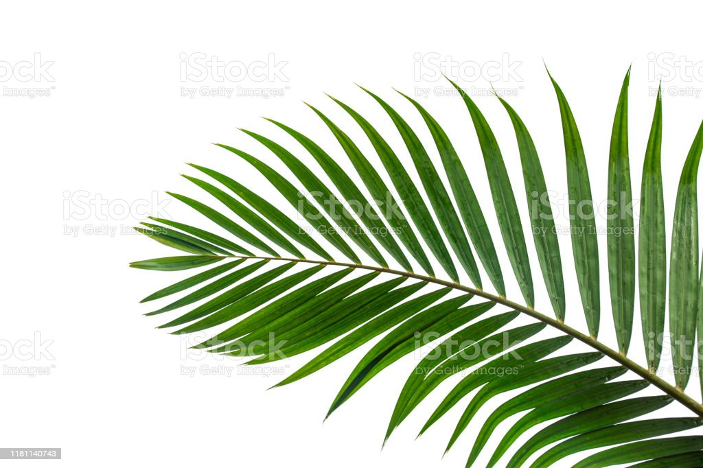 tropical coconut leaf isolated on white background - Zbiór zdjęć royalty-free (Bez ludzi)