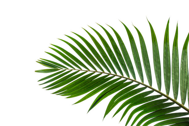 tropical coconut leaf isolated on white background - branch plant part stock pictures, royalty-free photos & images