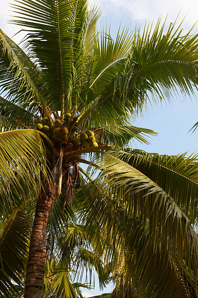 Tropical coconut palm closeup on blue sky stock photo
