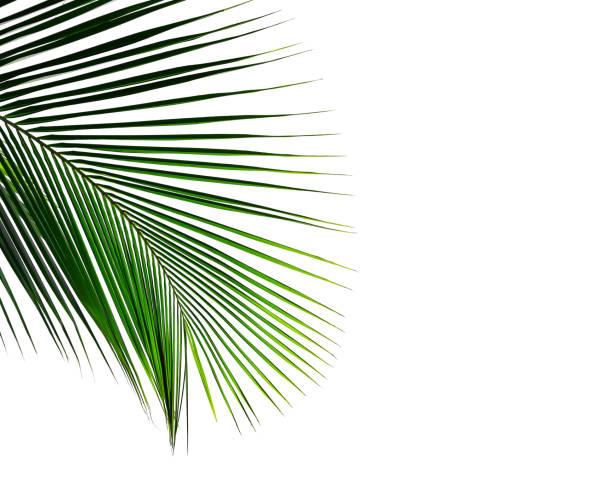 tropischen kokospalmen-blatt isoliert auf weißem hintergrund - horizontal gestreiften vorhängen stock-fotos und bilder