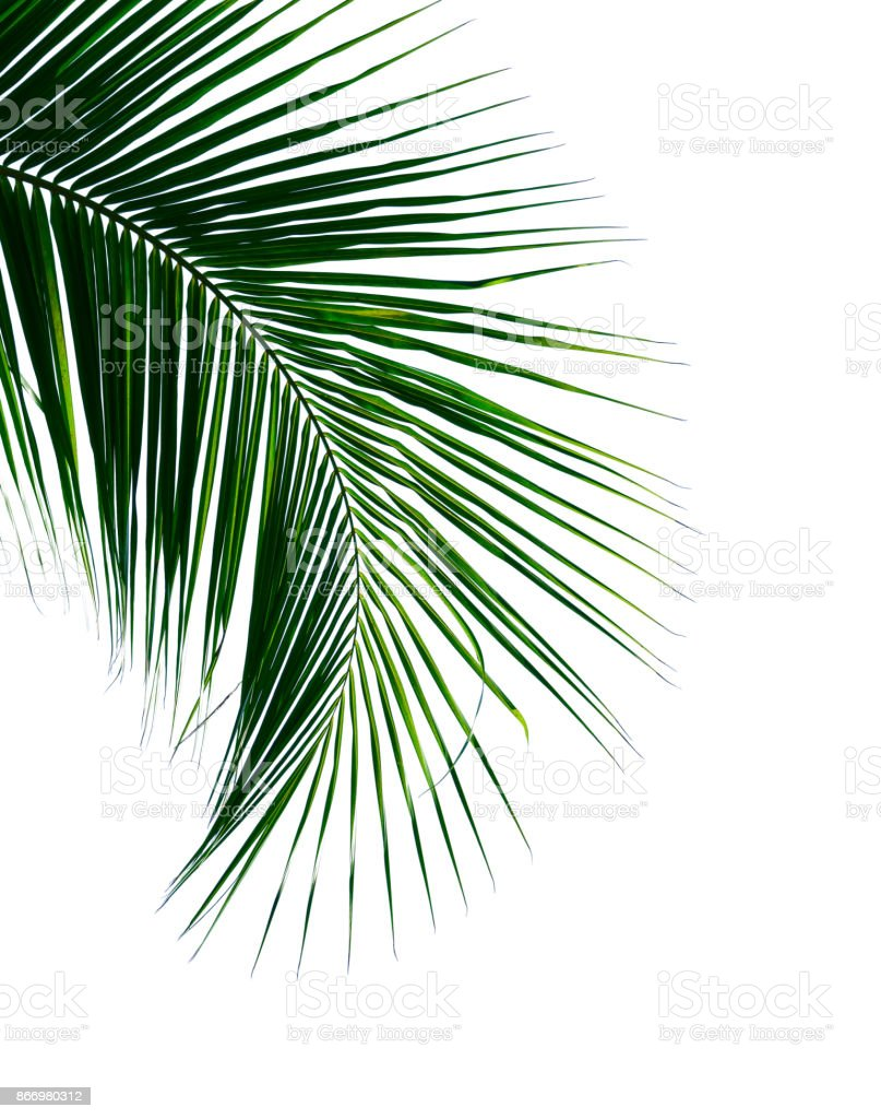tropical coconut palm leaf isolated on white for design elements stock photo