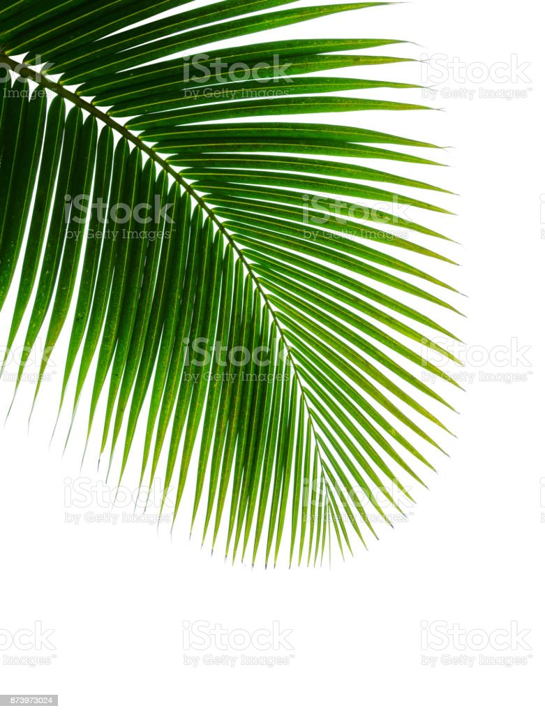 tropical coconut palm leaf isolated on white stock photo
