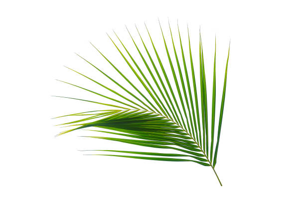 tropical coconut palm leaf isolated on white coconut palm leaf isolated on white background for design elements exoticism stock pictures, royalty-free photos & images
