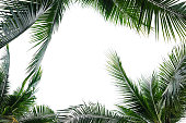 coconut palm leaves frame isolated on white background