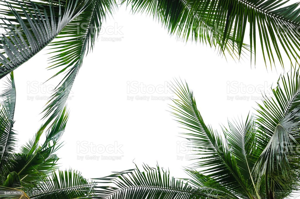 tropical coconut palm leaves isolated on white stock photo