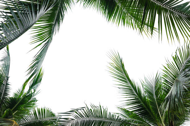 tropical coconut palm leaves isolated on white - branch plant part stock pictures, royalty-free photos & images
