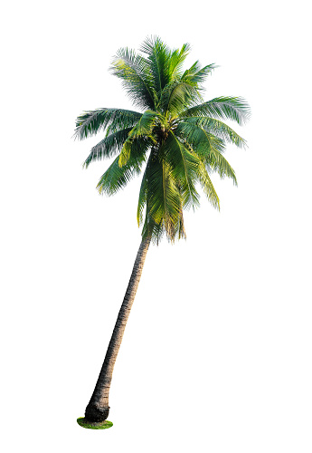 tropical coconut palm tree isolated on white