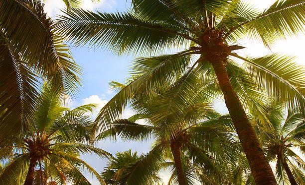 Tropical coconut palms on sunny blue sky stock photo