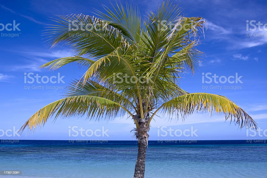 Tropical Coconut Tree Top royalty-free stock photo