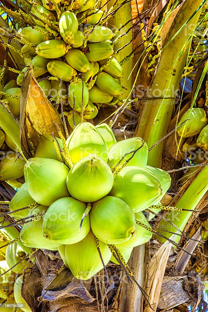Tropical coconut tree with nuts royalty-free stock photo