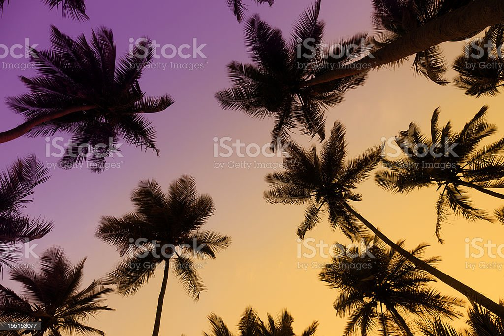 Tropical coconut trees at sunset stock photo