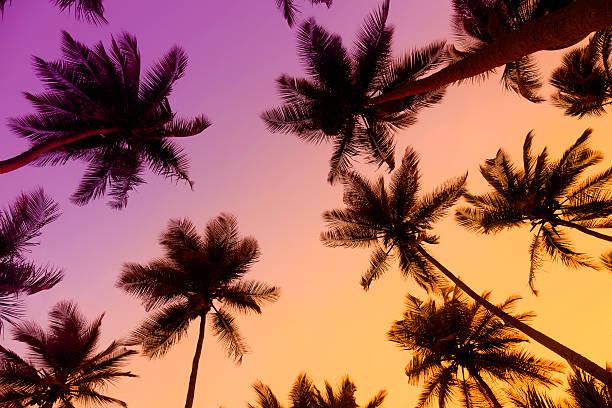 palme da cocco tropicale al tramonto - bahamas foto e immagini stock