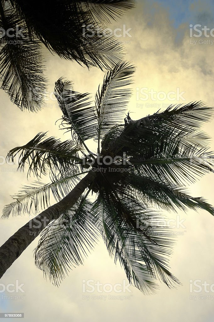 Tropical Coconut trees royalty-free stock photo