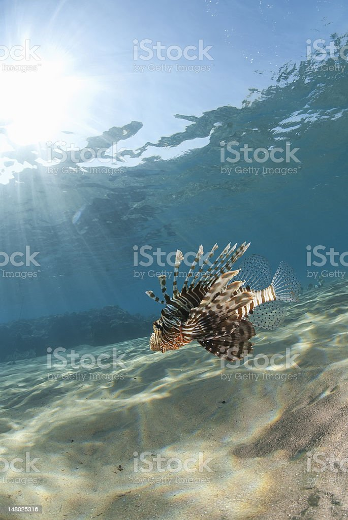 Tropical Common lionfish hovering over the sandy ocean floor. stock photo