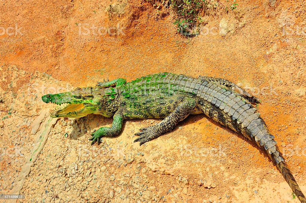 tropical crocodile royalty-free stock photo