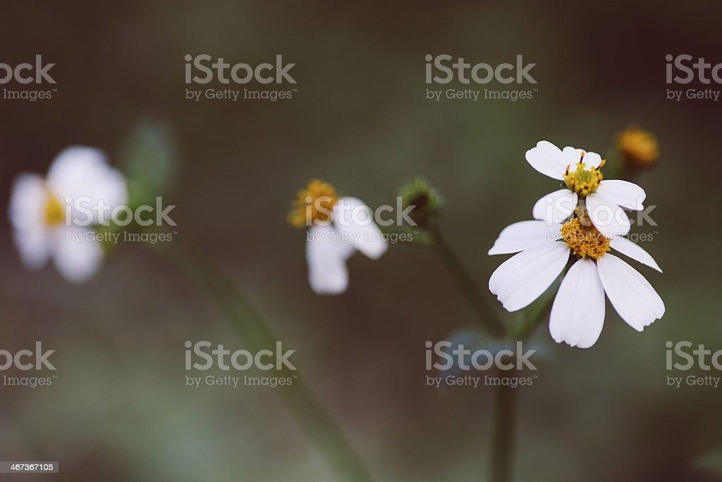 Tropical daisy royalty-free stock photo