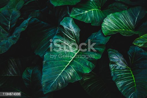 The tropical Elephant Ear Leave background in dark tone